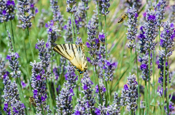 Scarce Swallowtail, Hungary